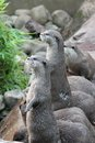 Wet asian small clawed otters group of Royalty Free Stock Photography
