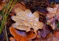 Wet autumn leafage Royalty Free Stock Photo