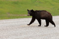 Wet black bear ursus americanus crossing road young american with fur highway pavement Royalty Free Stock Photo