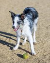 Wet black&white Border Collie puppy taking a break from chasing a ball in a dog park.