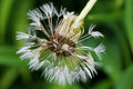 Wet blowball (clock) of Dandelion flower head with many small fl Royalty Free Stock Photo