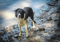 Wet border Collie Dog Royalty Free Stock Photo