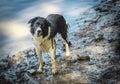 Wet border Collie Dog Royalty Free Stock Photo