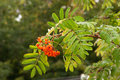 Wet branch rowan tree with ripe berries Stock Photography