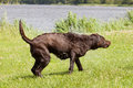 Wet Brown labrador is shaking off excess water Royalty Free Stock Photo