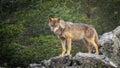 Wet Canis Lupus Signatus watching over rocks while raining Royalty Free Stock Photo