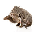 Wet cat licks itself.  on white background Royalty Free Stock Photo