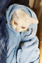 Wet cat white persian after bath Royalty Free Stock Photo
