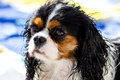 Wet cavalier king purebreed on a summer day Royalty Free Stock Photos