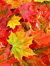 Wet colored maple leaves background Royalty Free Stock Photo