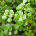 Wet crassula branches background Stock Photography