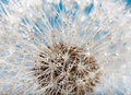 Wet dandelion Stock Images