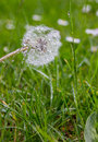 Wet dandelion in green meadow Royalty Free Stock Photo