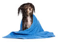A wet dark chocolate havanese dog after the bath with a blue towel on white background Stock Photography