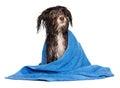 Wet dark chocolate havanese puppy dog after bath Royalty Free Stock Photo