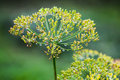 Wet dill flowers macro photo anethum graveolens Stock Photography