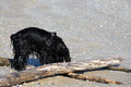 Wet dog on the beach black playing Stock Photo