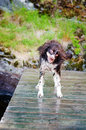 Wet dog shaking Royalty Free Stock Images