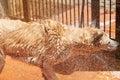 Wet dog shaking Royalty Free Stock Photo