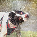 Wet dog shaking head Royalty Free Stock Images