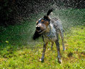 Wet dog shaking itsself dry Stock Photos
