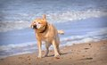 Wet dog shaking off water Royalty Free Stock Photo