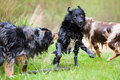 Wet dogs in action australian shepherd Royalty Free Stock Photography