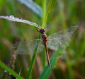 Wet dragonfly Royalty Free Stock Photos
