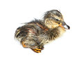 Wet duckling newly hatched still isolated on white Stock Images
