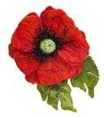 Wet felted brooch Poppy flower shape Royalty Free Stock Photo