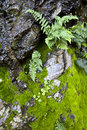 Wet ferns and moss detail of green rocks northern california coastal rain forest Royalty Free Stock Images