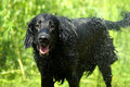 Wet Flat Coated Retriever Dog