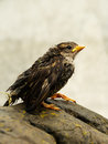 Wet fledgeling European sparrow Royalty Free Stock Photo