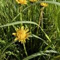 Wet flowers dandelion Royalty Free Stock Photo