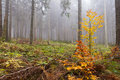 Wet and foggy peaceful fall day in the forest with tall old coniferous trees partly colored underbrush Stock Photo