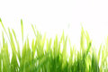 Wet fresh green grass with sunlight isolated on white Stock Photo