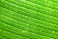 Wet green banana leaf Stock Image