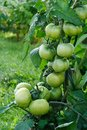 Wet green tomatoes. Royalty Free Stock Photo