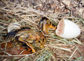 Wet hatched duckling little newly from its egg Stock Images