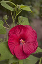 Wet hibiscus blooming red flower with rain drops in garden Stock Image