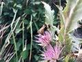 Wet Honeybee On A Cardoon Flower