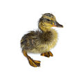 Wet isolated duckling newly hatched on white Royalty Free Stock Image