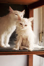 Wet kitten adorable white persian Royalty Free Stock Images