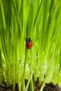 Wet ladybug in green grass Stock Images