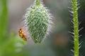Wet Ladybug on poppy bud Royalty Free Stock Photo