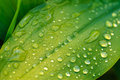 Wet leaf close up with dew drops Royalty Free Stock Photo