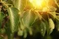 Wet Leaf In Sunlight