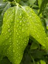 Wet leaves after a rain glisten with water the green on tree in park are Royalty Free Stock Image