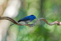 Wet Male Black-naped monarch, blue flycatcher bird with black pa Royalty Free Stock Photo