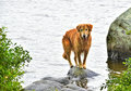 Wet male dog balances on a rock on the shores edge HDR Royalty Free Stock Photo